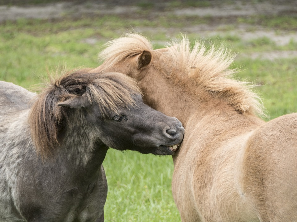 miniature-horses-playing-1702036_960_720